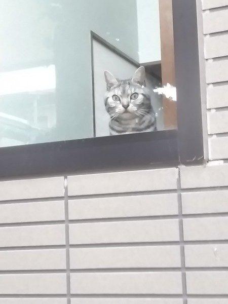 窓辺で外をじっと見つめるアメリカンショートヘア