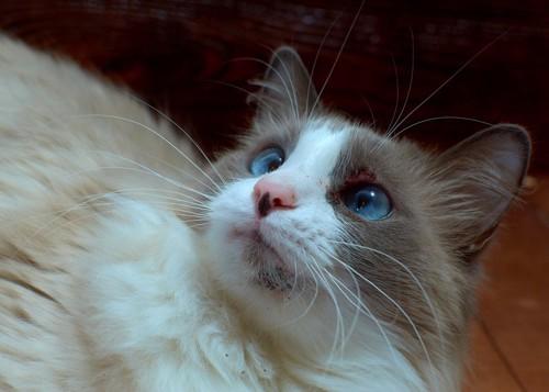 猫のアクネ