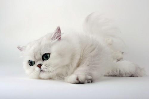 真っ白な猫