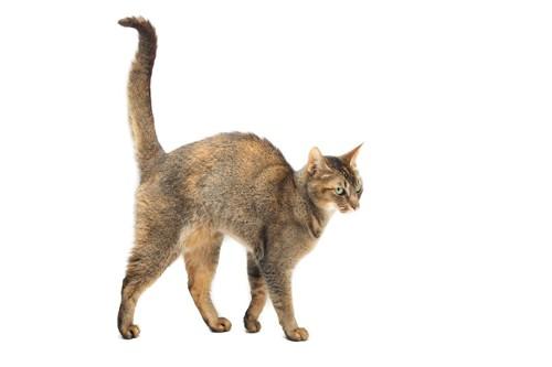 尻尾を立てて歩いている猫