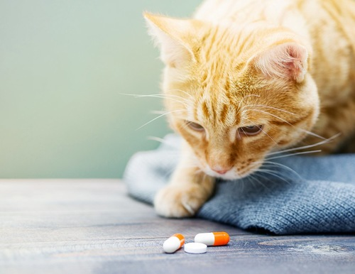 錠剤を眺めている猫