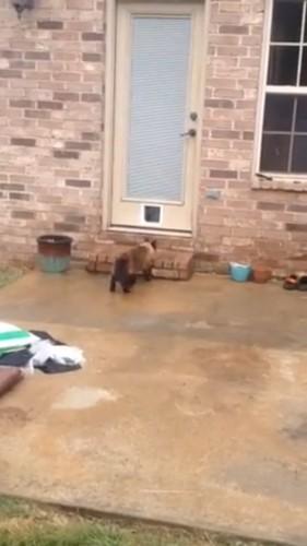 玄関にいく猫