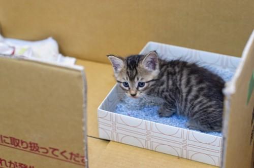 段ボールのトイレとキジトラ子猫
