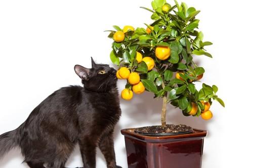 レモンの木の匂いを嗅ぐ黒猫