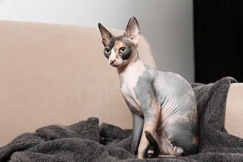 毛のない猫