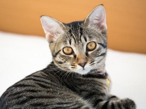 黄色の目の色のキジトラ