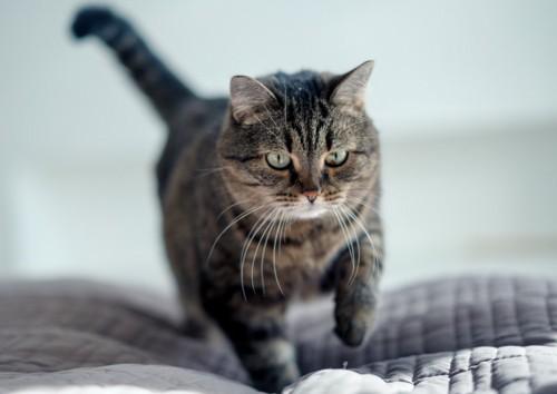 ベッドの上でほりほりしてる猫
