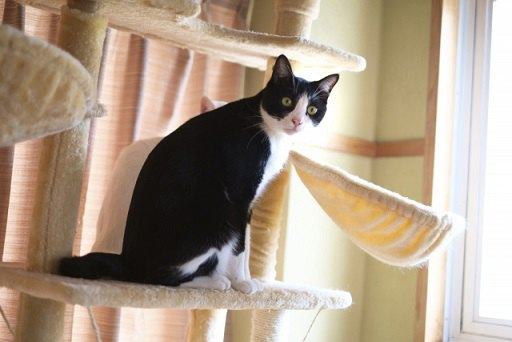 既製品のキャットタワーに登っているハチワレ猫