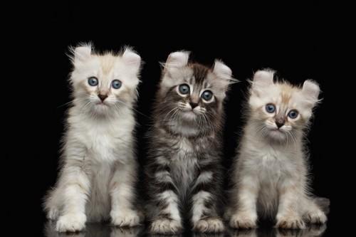 三匹のアメリカンカールの子猫