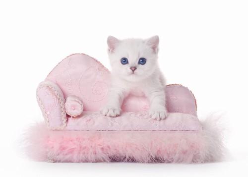ピンクのソファの上にいる子猫