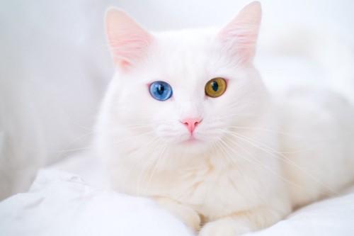 オッドアイが綺麗な白猫