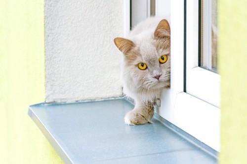 窓から1歩出た白っぽい猫