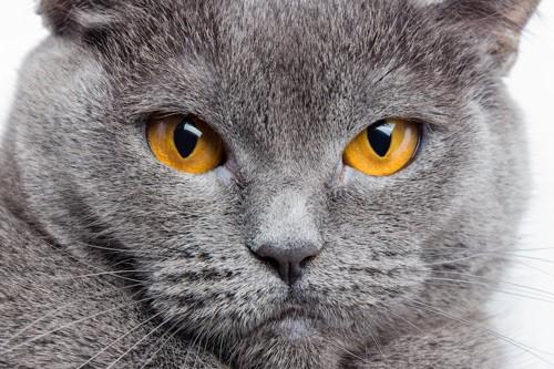 真剣な表情の猫の顔アップ