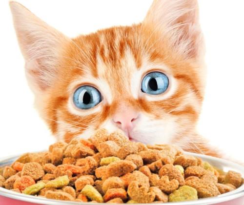 餌を見る猫