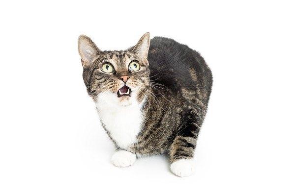 白い背景に口を開けた猫