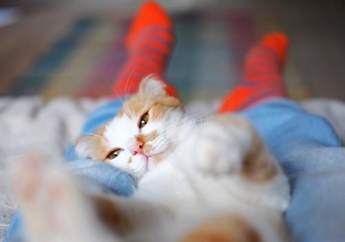 飼い主の足の間で寝転ぶ猫