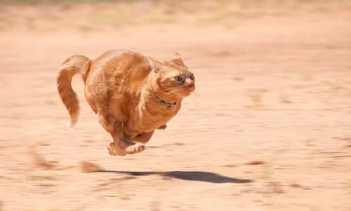 全速力で走る茶トラ猫