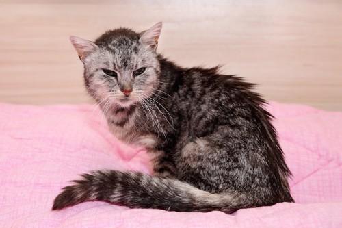 ベッドに座る高齢猫