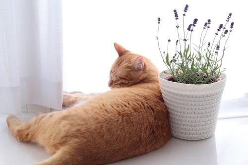 窓辺に置かれたラベンダーの鉢植えの横で眠る猫