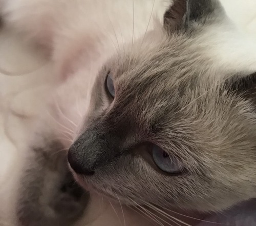 斜め上から見たシャム猫