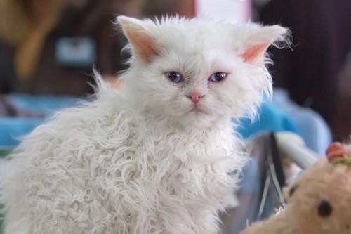 巻毛の白猫