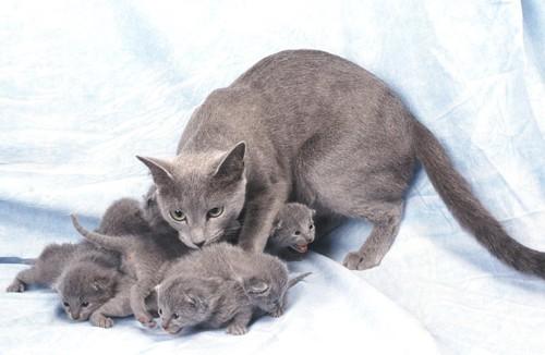 子猫たちの世話をする母親のロシアンブルー