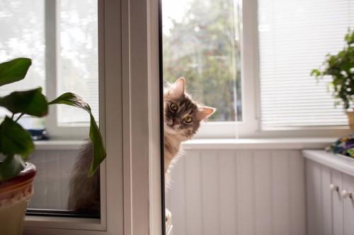 窓から覗いている猫