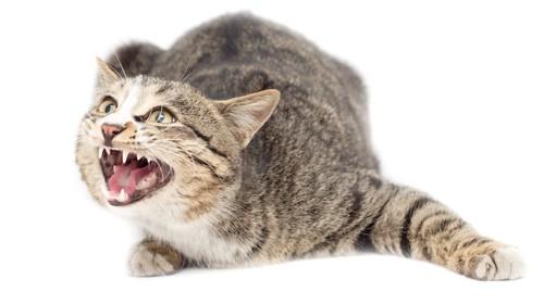 姿勢を低くして鳴いている猫
