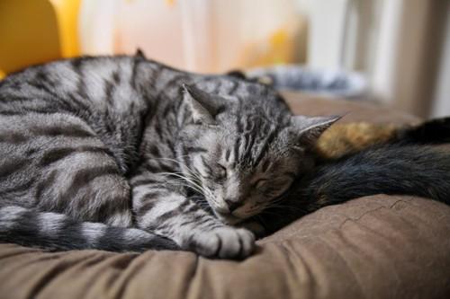 丸くなって手をついて寝る猫
