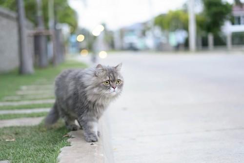 道路を歩くスモークのペルシャ