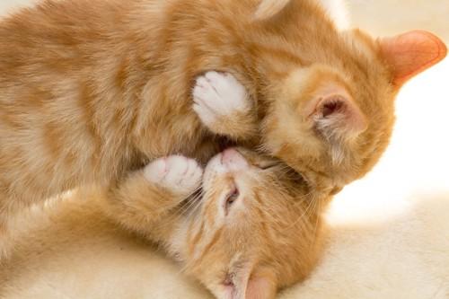 兄弟猫とじゃれあって噛む子猫