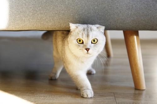ソファの下を歩く猫