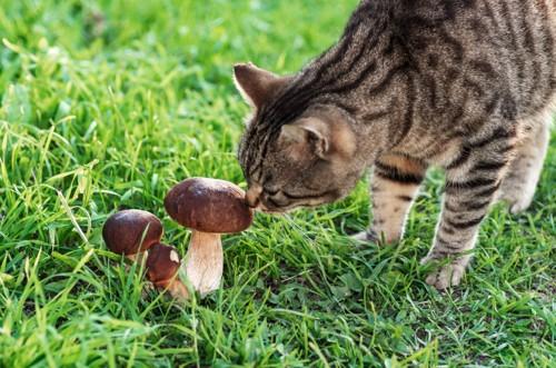 外に自生するきのこを嗅ぐ猫