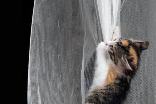 カーテンにぶら下がる猫