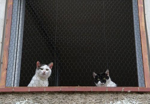 網戸越しに外を見る二匹の猫