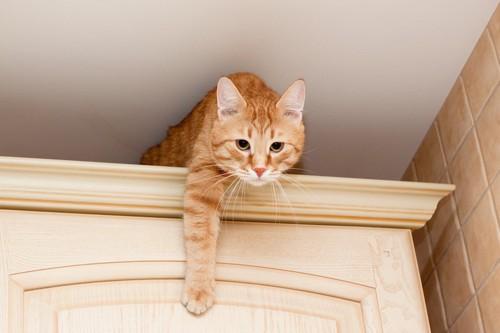 棚の上から降りようとする猫