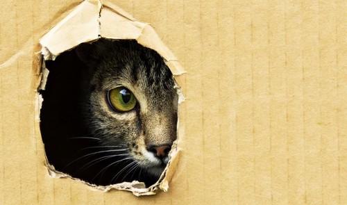 段ボールの穴から警戒している猫