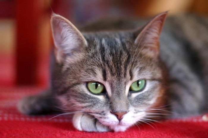 赤い絨毯の上で凛とした表情の猫