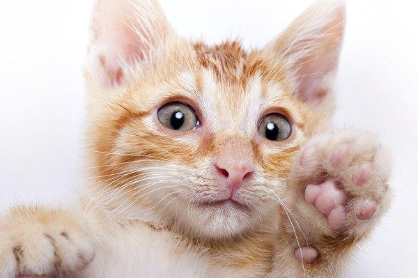 手を上げている子猫