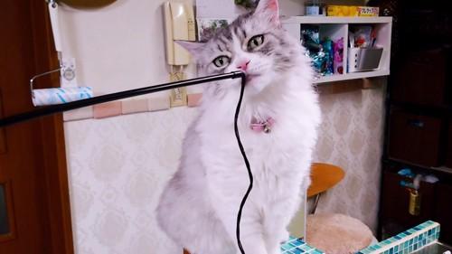 棒の先端のニオイを嗅ぐ猫