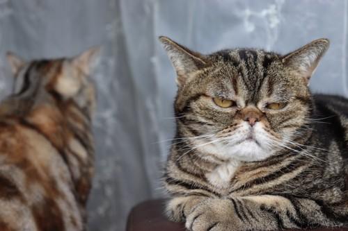 気に入らない顔の猫