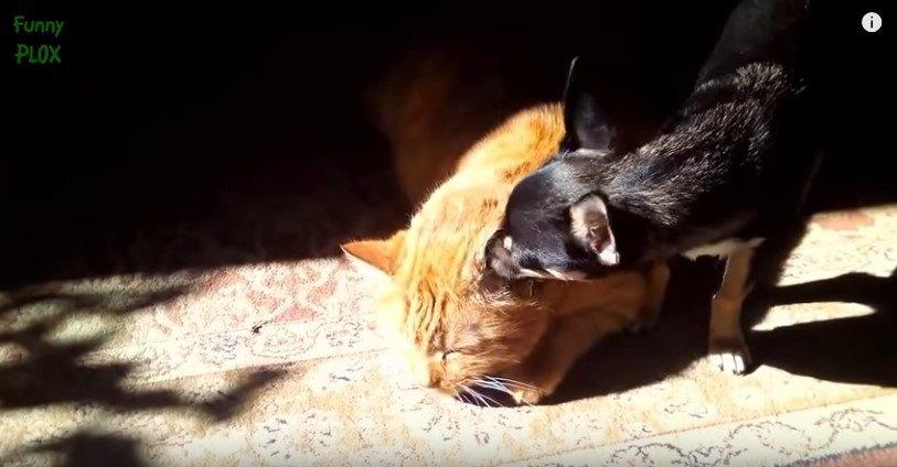 猫の耳をなめる犬