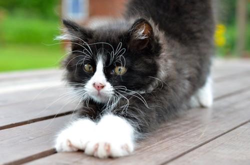 のびをするカールしたひげの子猫