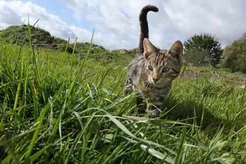草原を歩く猫