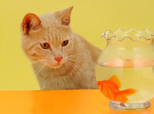 金魚鉢の金魚を見つめる猫