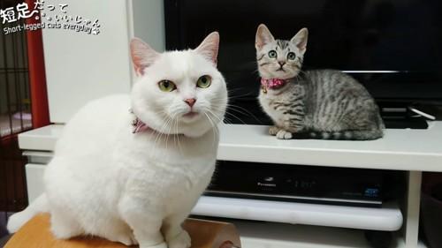 おすわりする白猫とテレビの前にいる子猫
