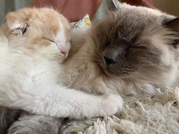 仲良く寝ているラグドールとスコティッシュフォールド