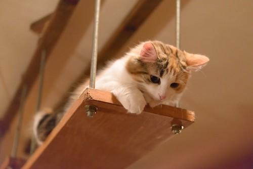 棚の上から下を見る猫