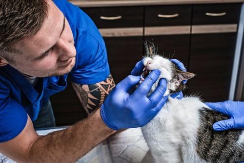 病院で口腔内を診察される猫