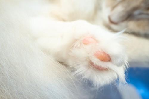 肉球周りに被毛のある猫